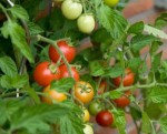 tomatoes_on_a_bush