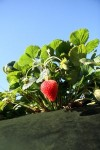 strawberry_farm_3