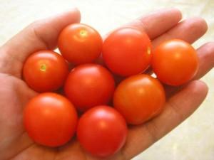 moja úroda paradajok