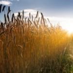 Ako nás vodia za pšenicu/nos