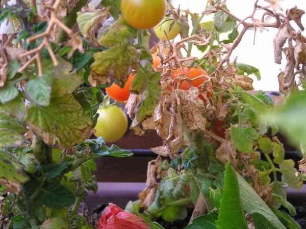 balkónové rajčata
