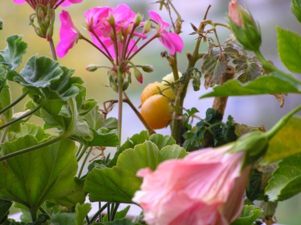 balkónové rajčata v zajetí květin