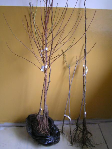 zásielka stromčekov