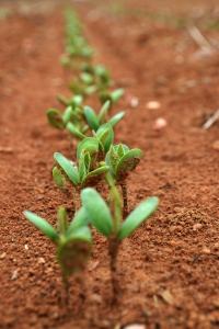 Sú geneticky modifikované potraviny bezpečné?