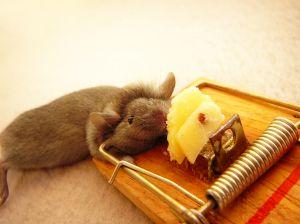 myš v pasti