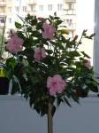 moja čínska ruža v zime