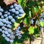 Starostlivosť o vinič v správnom čase