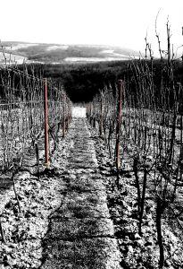 vinohrad v zime