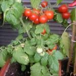 Balkónové paradajky – prvýkrát presadené
