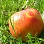 Odolné jabĺčko spod lístia
