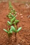 mladé rastlinky