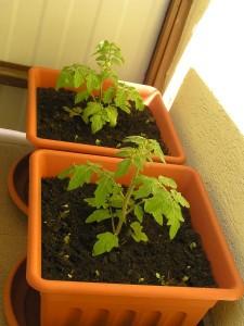 paradajky olemované reďkovkou