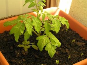 malý plôdik balkónovej paradajky