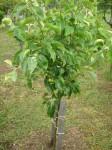 mladý stromček