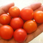 Balkónové paradajky v záhrade I.