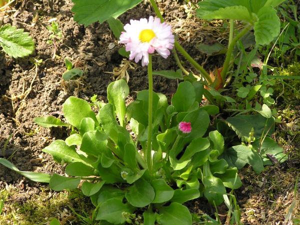 sedmikráska v mém trávníku