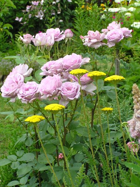 fialová královna květin