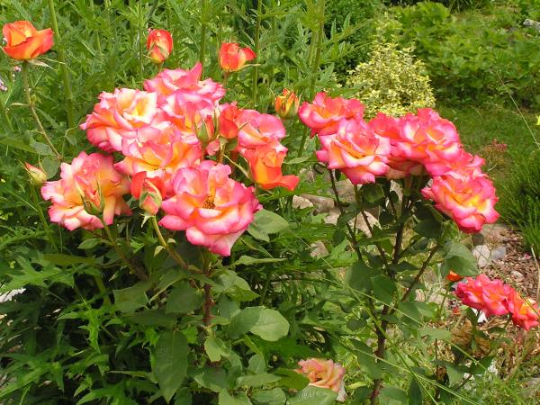 růžová krása