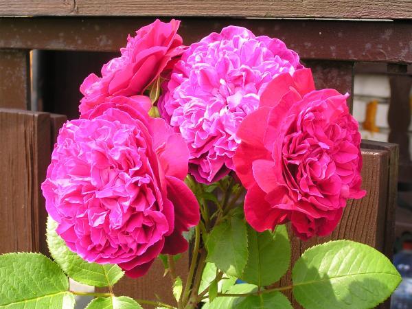 anglické růže z mé sbírky