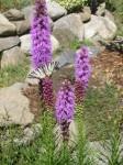 liatra, pastva pre motýle