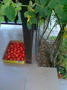 paradajkové prekvapenie
