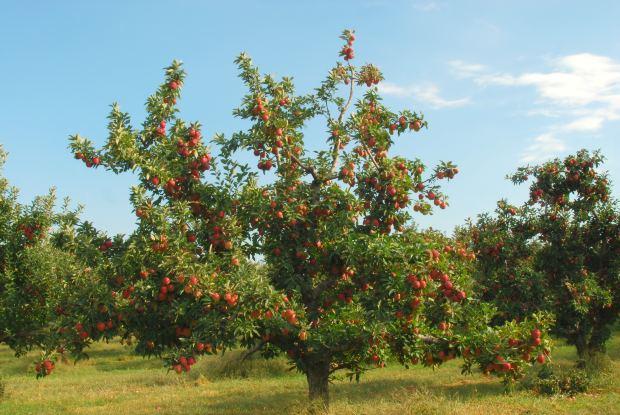 jabloň