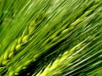 zelený jačmeň