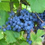Rez viniča – ešte nie je neskoro