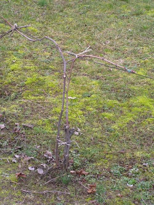 mladá sadenica