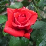 Izbové ruže – ako si zariadiť zdravý domov s kvetinami