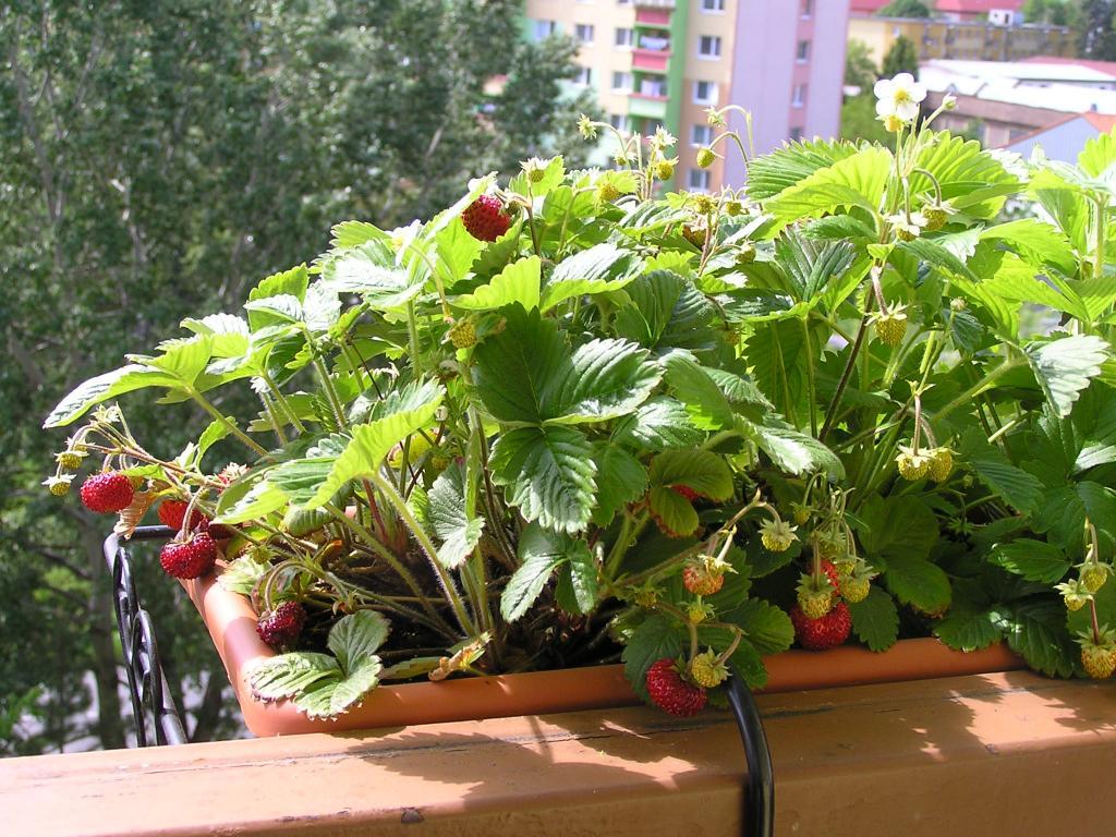 sladká jahodová úroda