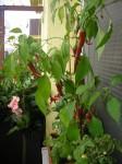 jedlý balkón paprika