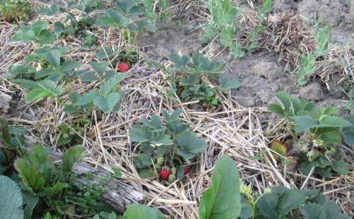 Jahody nemusí ležet v blátě