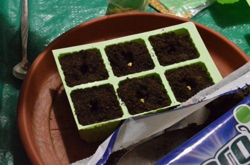 semená papriky v substráte