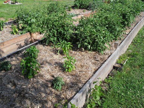 rajčiny a papriky pod mučom na vyvýšených záhonoch