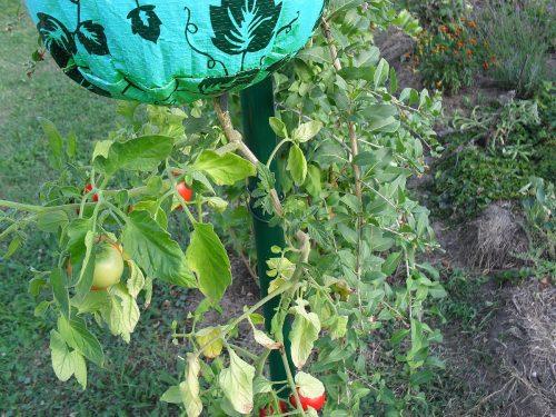 rajčiny dolu hlavou