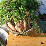 Polkilové mrkvy sa tento rok nekonajú