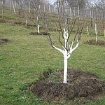Bielenie stromov v januári