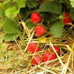 Dovolenkové jahody