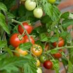 Balkónové paradajky, kam s nimi?