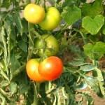 Strihať kríčkové paradajky?