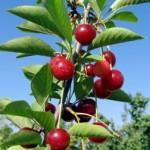 Letný rez ovocných drevín