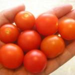 Koniec sezóny balkónových paradajok