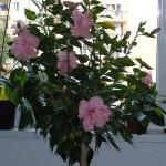 Aby čínska ruža bohato zakvitla