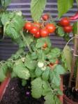 vlaňajšia úroda paradajok