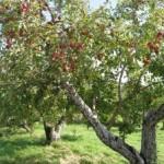 Skorý jarný rez ovocných stromov. Čomu svedčí, čomu nie.