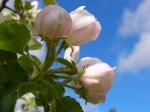 kvetné púčiky