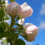 Preventívne proti chrastavitosti jabloní
