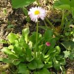 Vzácna sedmokráska v mojom trávniku