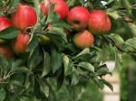 prebierka plodov
